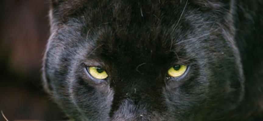 Premisa NLP – Pantera Neagra